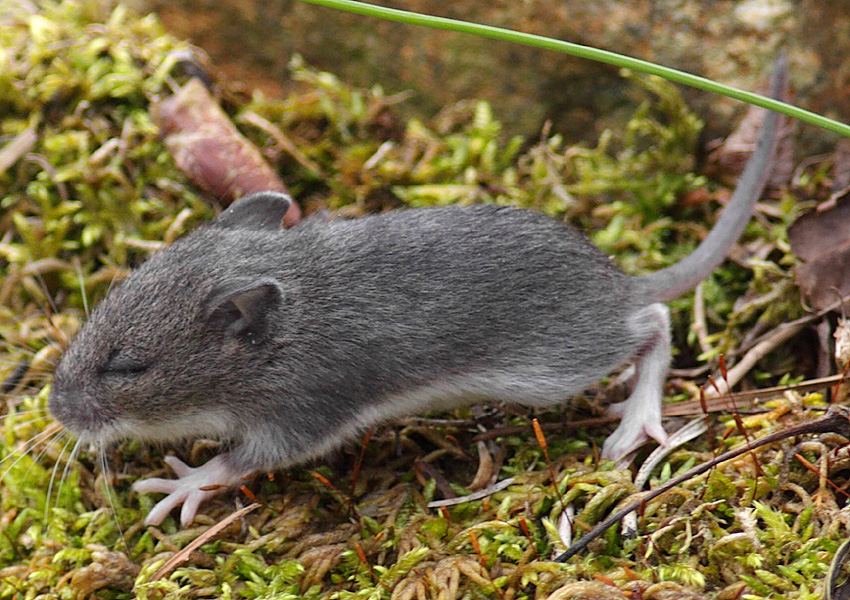 how to get rid of field mice outside