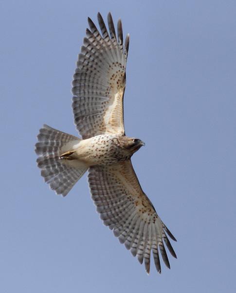 gallery for gt juvenile red shouldered hawk
