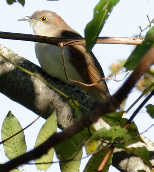 Juvenile Black Billed Cuckoo